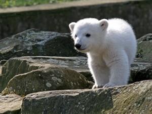 Der Eisbär Knut in jungen Jahren