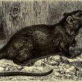 Holzschnitt einer Ratte in Brehms Thierleben